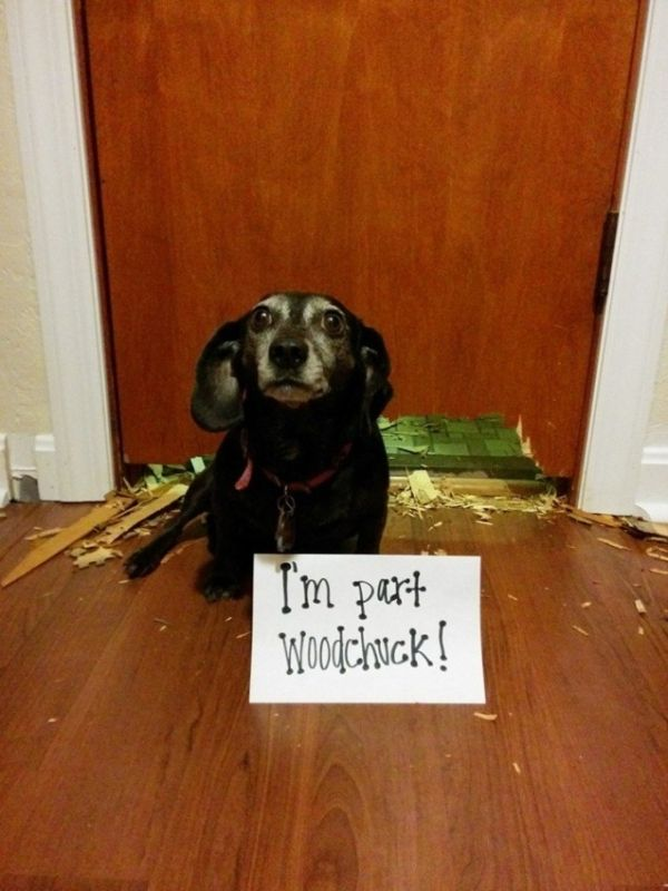 23 More Reasons Why Dachshunds Are The Gold Medalists Of Dog Shaming