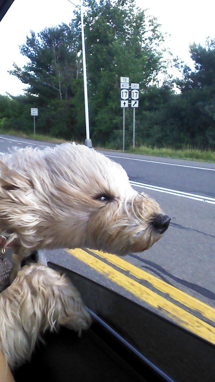 Schnoodle Weeeeee Car Ride Looks Like My Kirby Who Loves To