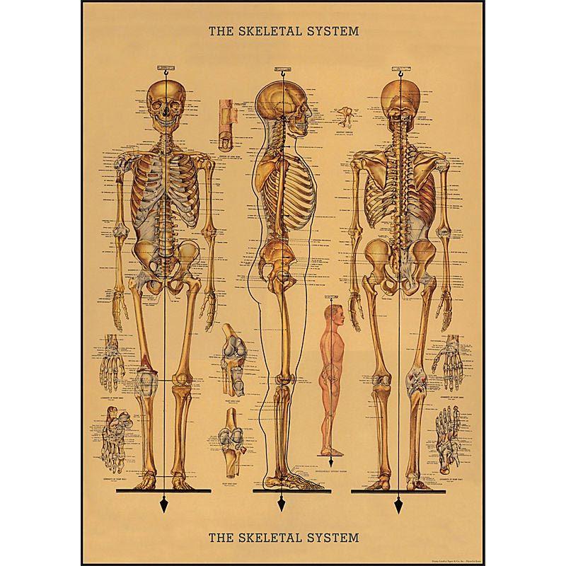 Préférence Affiche Squelette. Poster, papier cadeau, une belle reproduction d  MB31