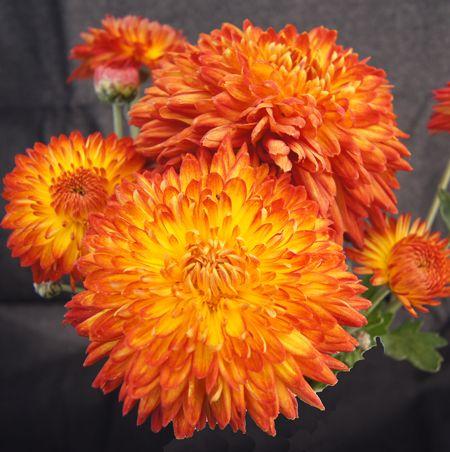 Pin On Chrysanthemum Gardens