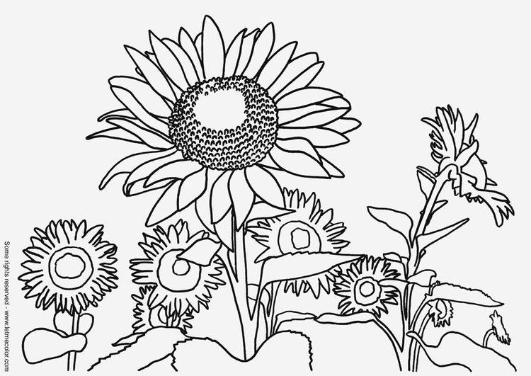 Malvorlage Sonnenblume Blumen Blumen Sonnenblumen Und Malvorlagen