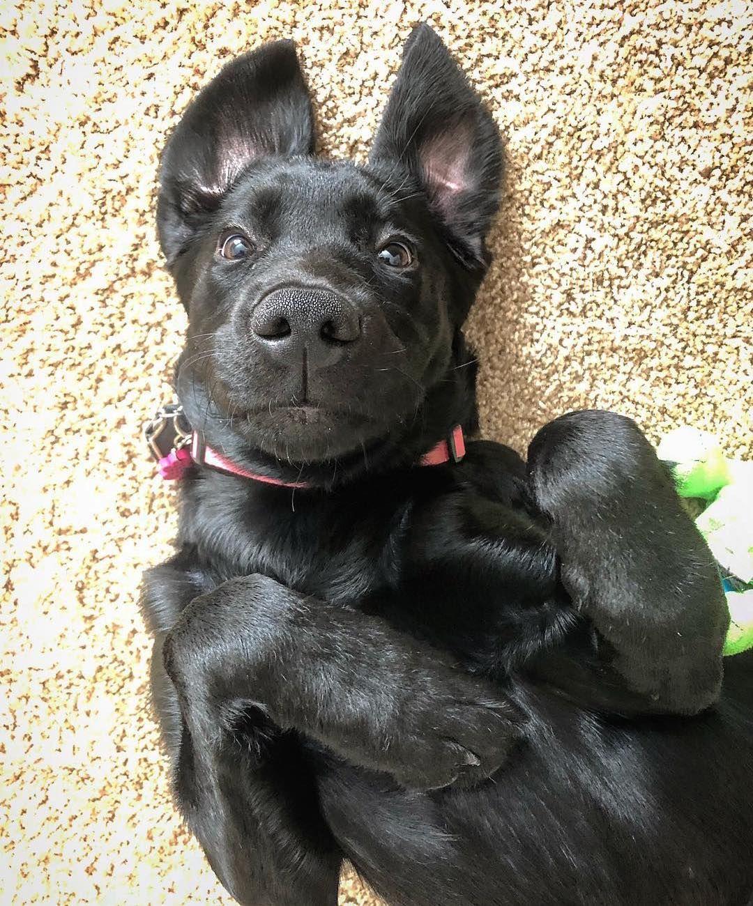 Puppies for Free Adoption   Black Labrador retriever puppies for sale South Dakota USA