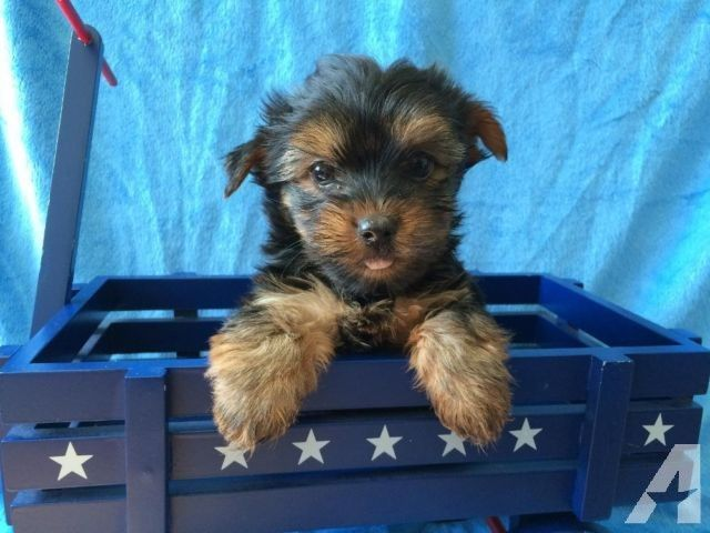 Adorable Akc Yorkie Male Yorkie Dog Games Teacup Yorkie For Sale