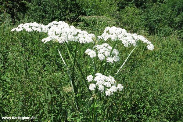 Heimische Pflanzen pin schmidt auf verschiedenes wildkräuter
