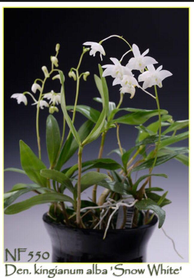 Den Kingianum Alba Snow White X 15 Flowers Orchids Plants