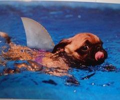 SHAUG- sharkpug