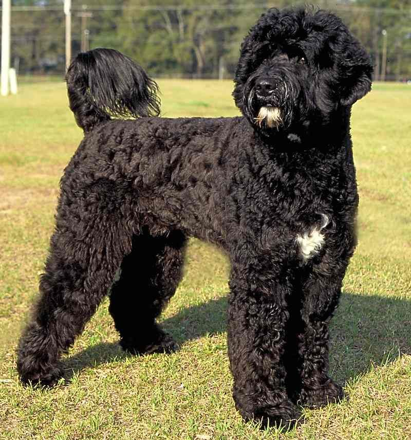 Portuguese Water Dogs Are Originally From The Portuguese Region Of The Algarve The Portuguese Water Portuguese Water Dog Water Dog Breeds Portugese Water Dogs