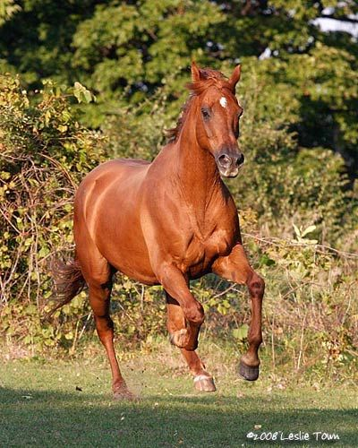 Chestnut Thoroughbred Horse Thoroughbred Horse