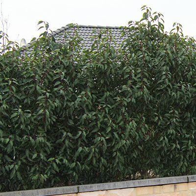 Portugiesischer Kirschlorbeer portugiesischer kirschlorbeer pflanzen janssen gmbh pool