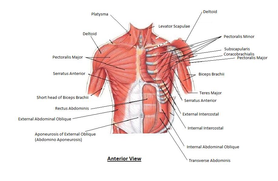 old school plate presses for inner chest development | muscles, ab, Cephalic Vein