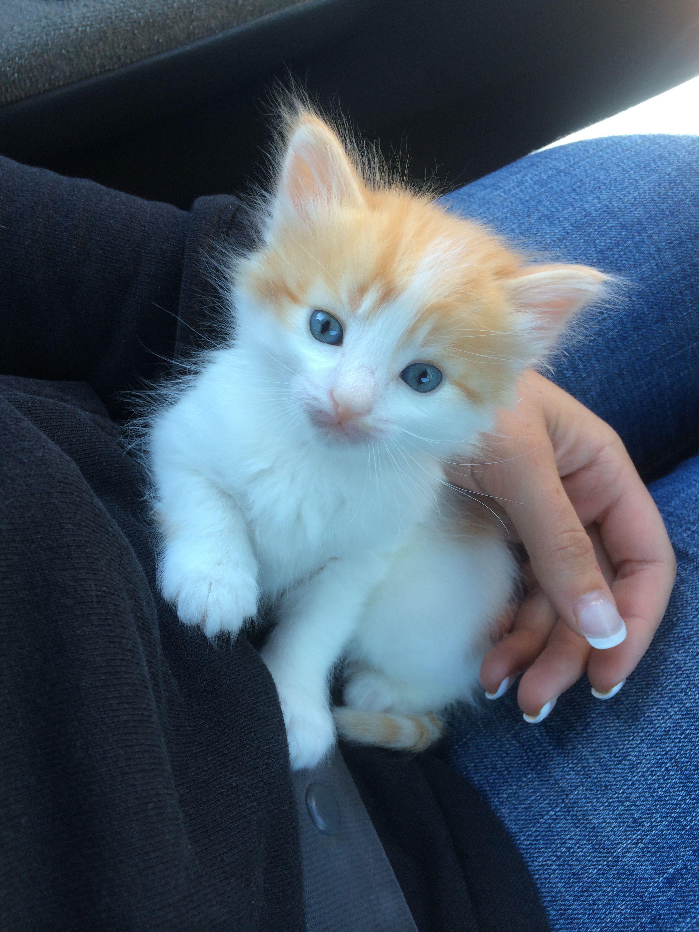 Kitten. Orange and white cat. Blue eyes. My Mr. Cheeto
