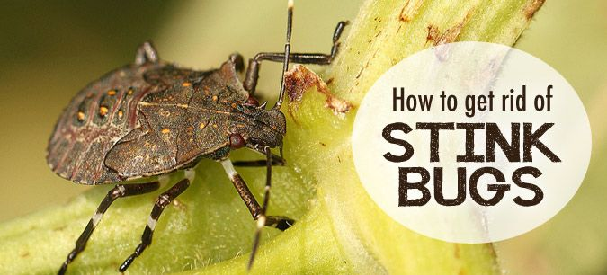 How to get rid of stink bugs bug insect stink bugs and - How to get rid of stink bugs in garden ...
