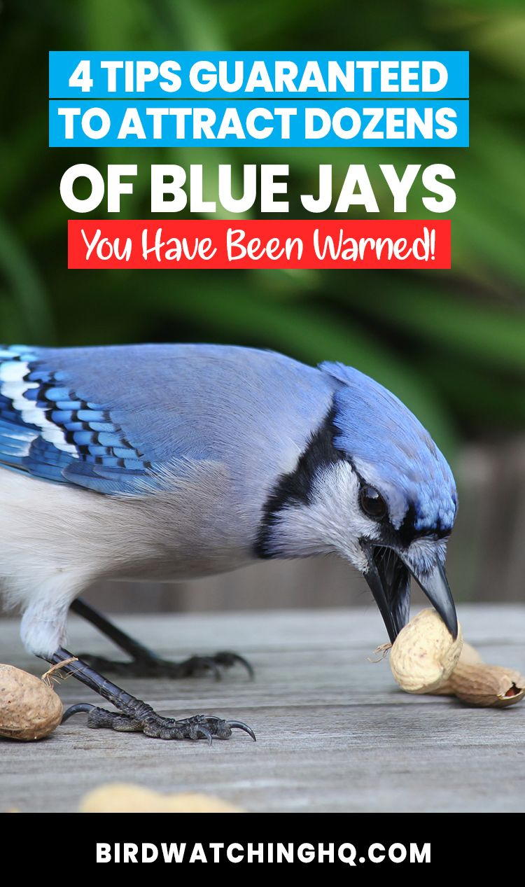 Attract Blue Jays With These 4 SIMPLE Strategies (2020) in ...