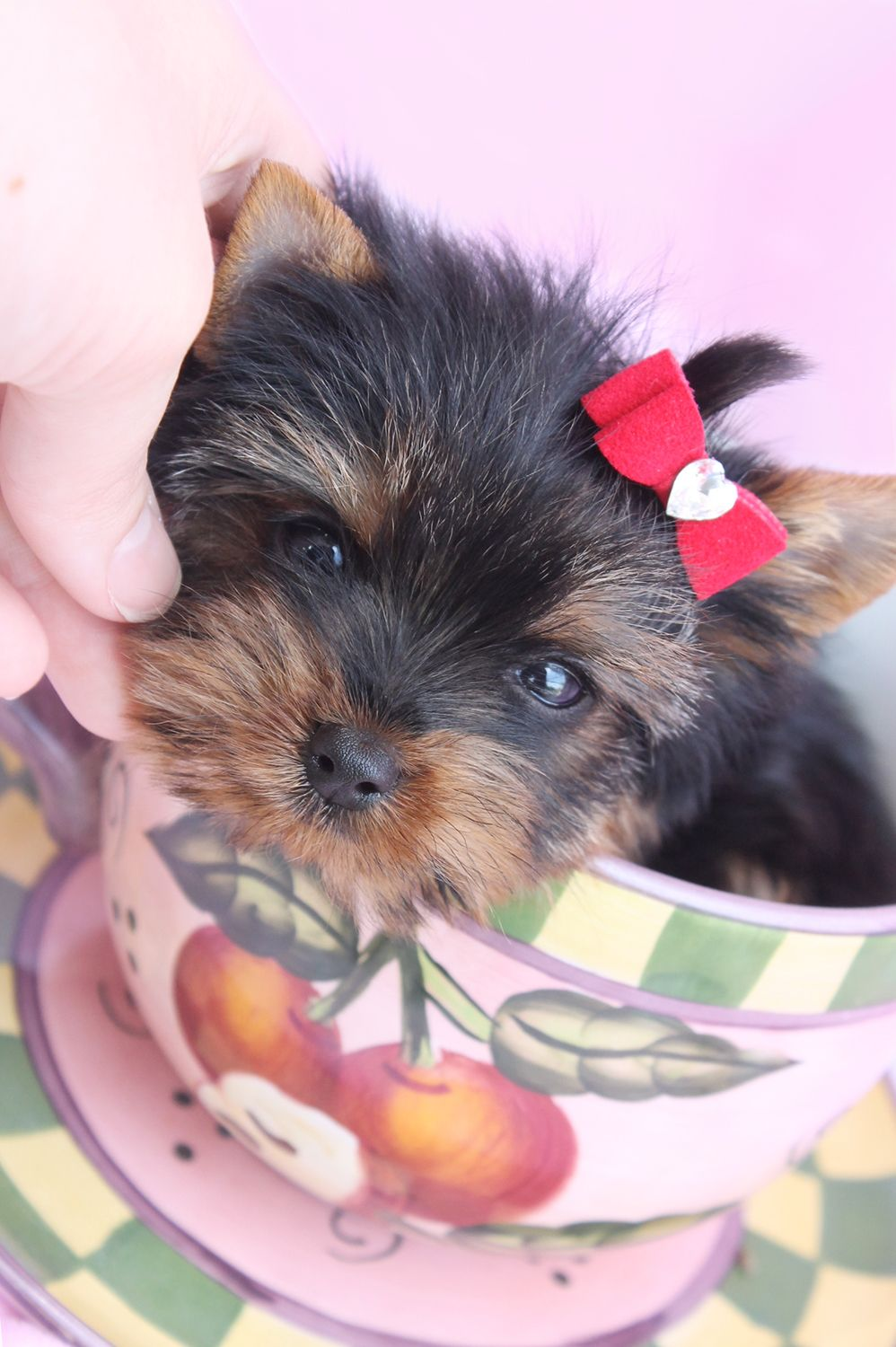 Teacup Yorkie Puppies For Sale South Florida