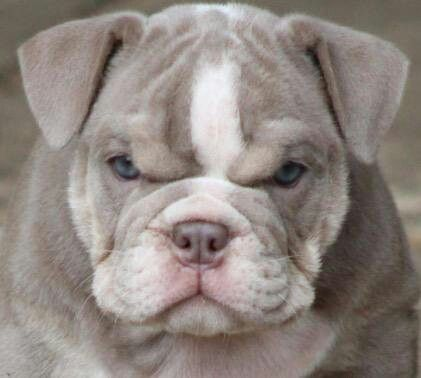 Haha Angry Face Dogs French Bulldog Angry Face