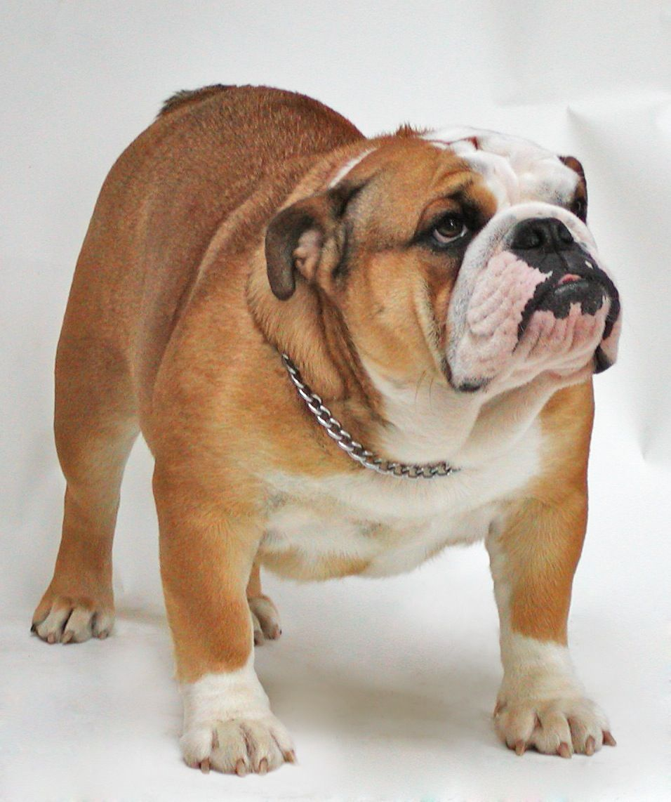 Bulldogs Were The Fourth Most Popular Purebred In The Us In 2016