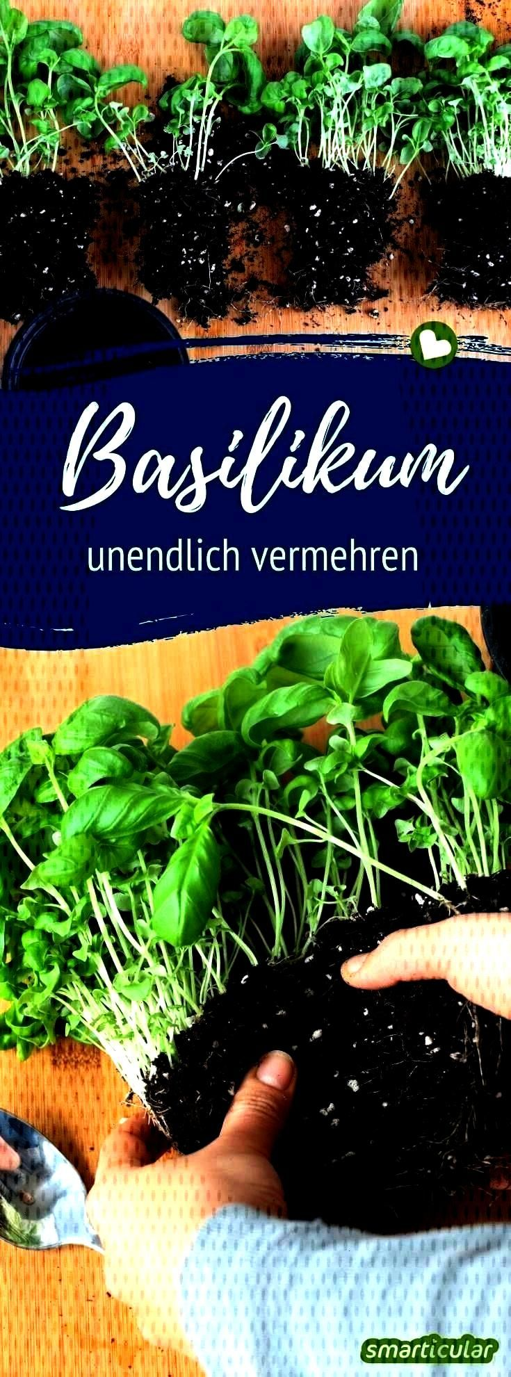 can multiply it infinitely#basilAlways fresh basil you can multiply it infinitely#basilfresh basil