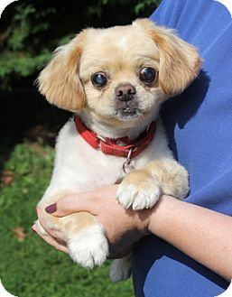 Larchmont Ny Pekingese Meet Bradley A Dog For Adoption Dog Adoption Pekingese Pet Adoption