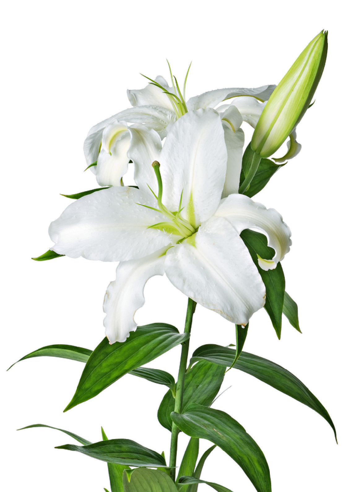 Lilys Site White Lilies Clipart Best Clipart Best Wedding