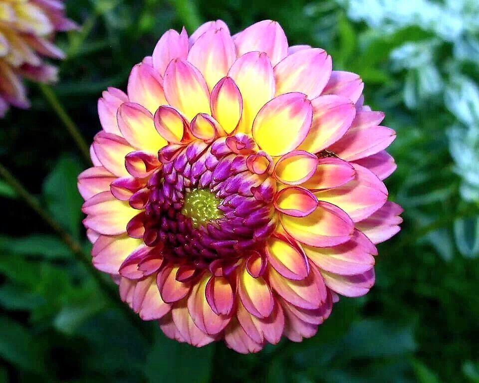 La dalia es la flor nacional de Mejico