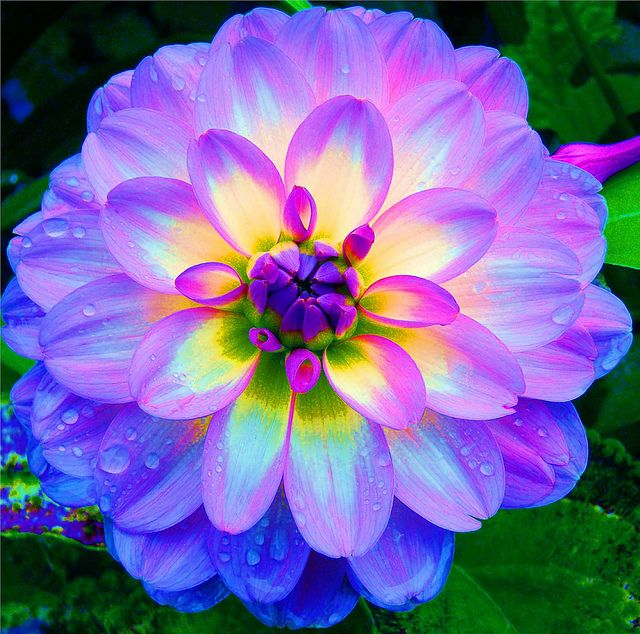 Dahlia - blue and yellow