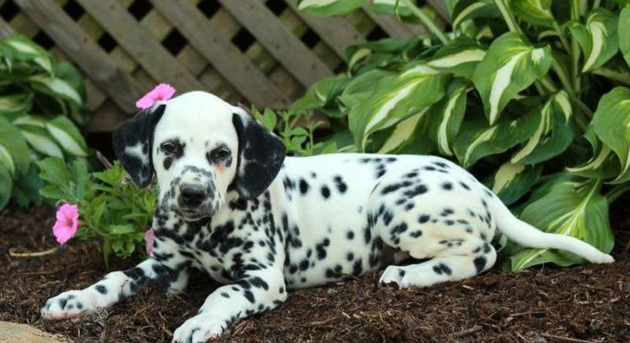 Dalmatian a dog named puck for sale dog for sale dog