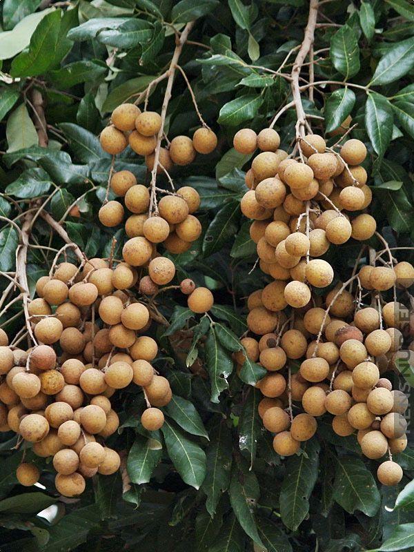 Longan Dragons Eye Fruit Tree | Amazing Plants That Grow