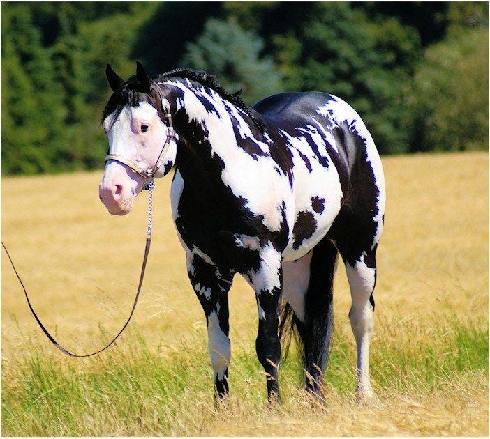 Paint Horse Pictures