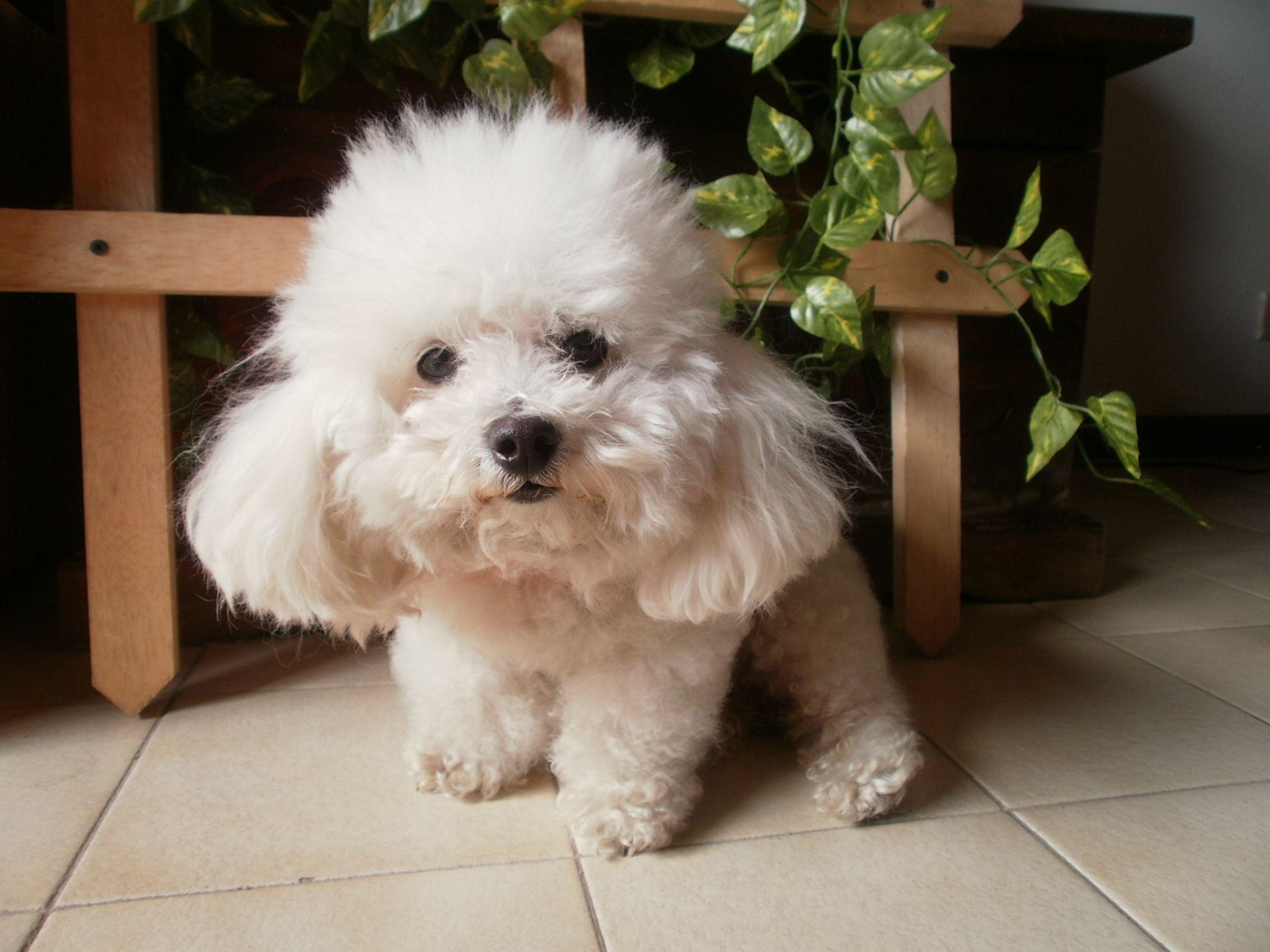 Rambo Perrito De Raza Pequeña French Poodle Tacita De Te Amo