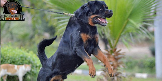 Owner Biggest Mistake That Makes Rottweiler Aggressive When He
