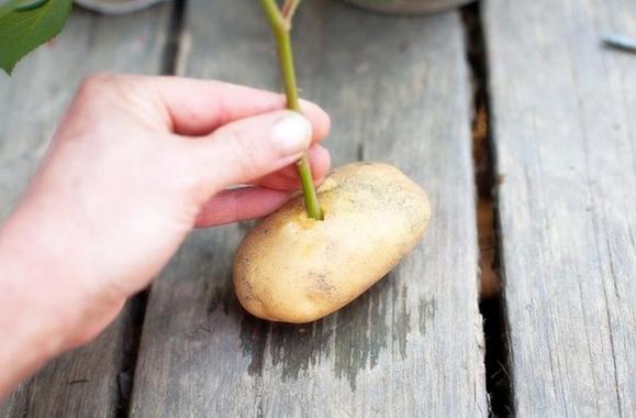Rozen stekken op een aardappel