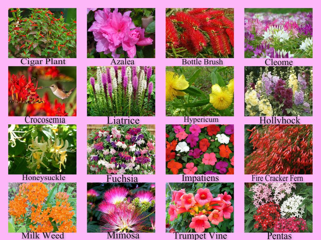 List One: Plants That Attract Hummingbirds Photo Collections Via My Friend  (and Hummingbird Aficionado