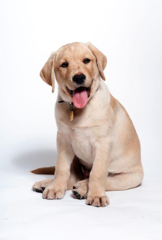 10 Tips For A Happy Labrador Puppy Labrador Puppy Labrador