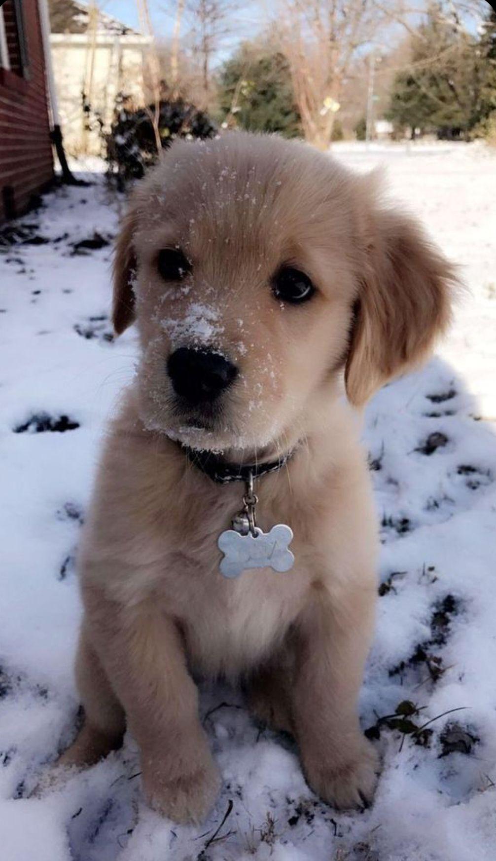Cute Baby Golden Retriever Puppy In 2020 Super Cute Puppies Cute Dogs Breeds Cute Animals