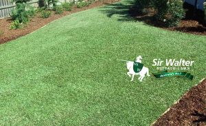 Different Types of Lawn Diseases That can Hamper the Beauty of Your Sir Walter Buffalo Turf is part of Buffalo lawn Care - Most lawn diseases can be prevented by selecting the appropriate lawn variety based on your weather conditions and keeping it well maintained  It is the most effective way to avoid a serious lawn d…