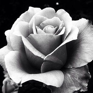 Realistic Black And Grey Rose Google Search Roses Pinterest