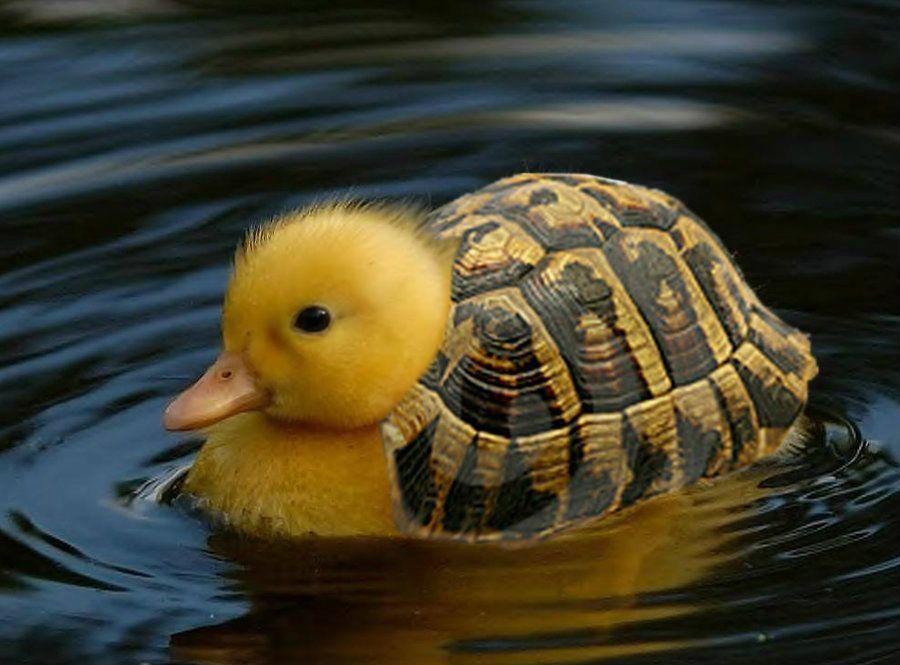 Chick-turtle hybrid