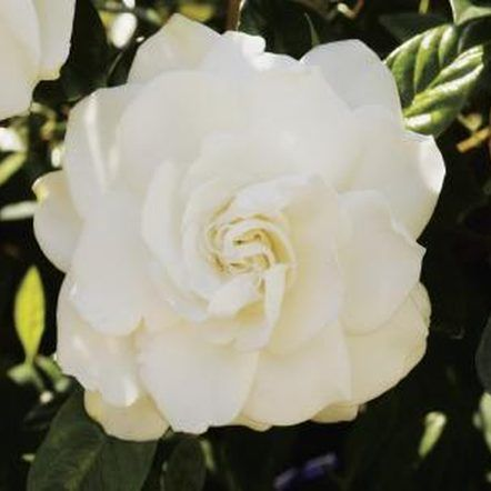 When To Fertilize Potted Gardenias With Images Gardenia Plant
