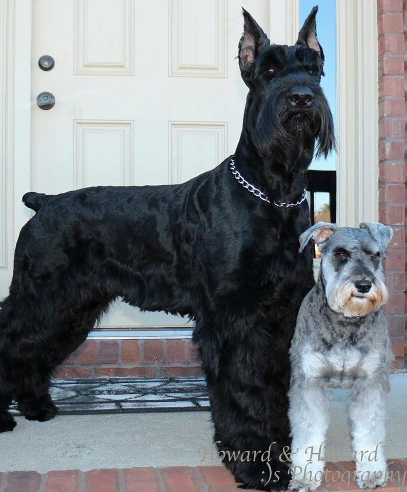 2a3aab41b5f8 Pin by Kerri Cowart on For the love of dogs! | Miniature schnauzer ...