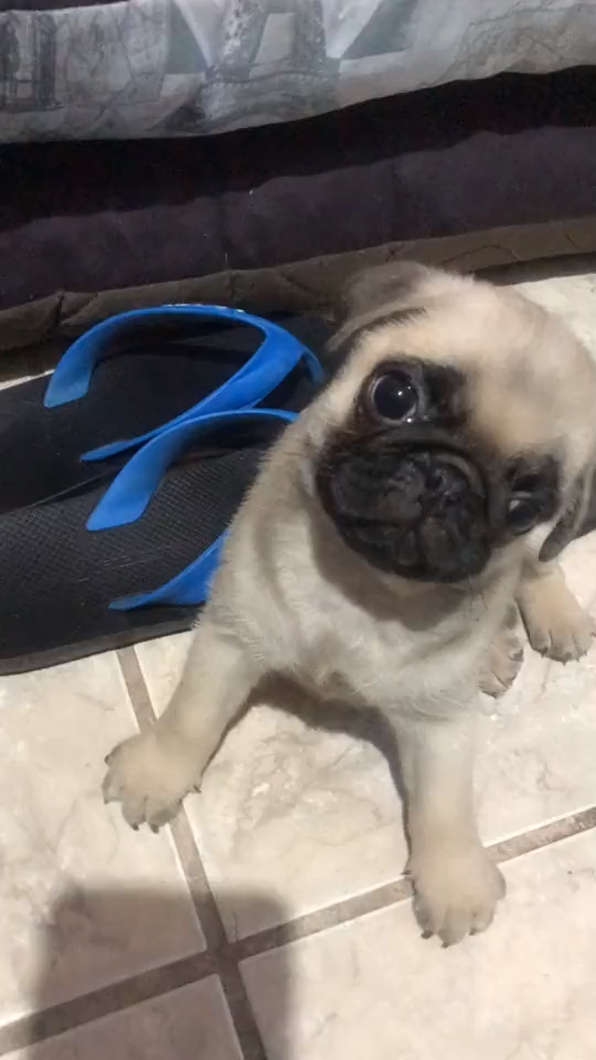 Pug, dog and cat friends,dog and cat love,dog and cat videos, funny dogs,youtube for cute dogs dog and cat friends,dog and cat love,dog and cat videos, funny dogs,youtube for cute dogs,dog running, cute dog videos,cutest dog videos,cat and dog, funny pubby 2019,funny puppy fails try not to laugh,funny puppy compilation, cute kittens,cutest cat and dog,dog life videos, cute puppy walking,cute puppy sounds,cute puppy whimpering,