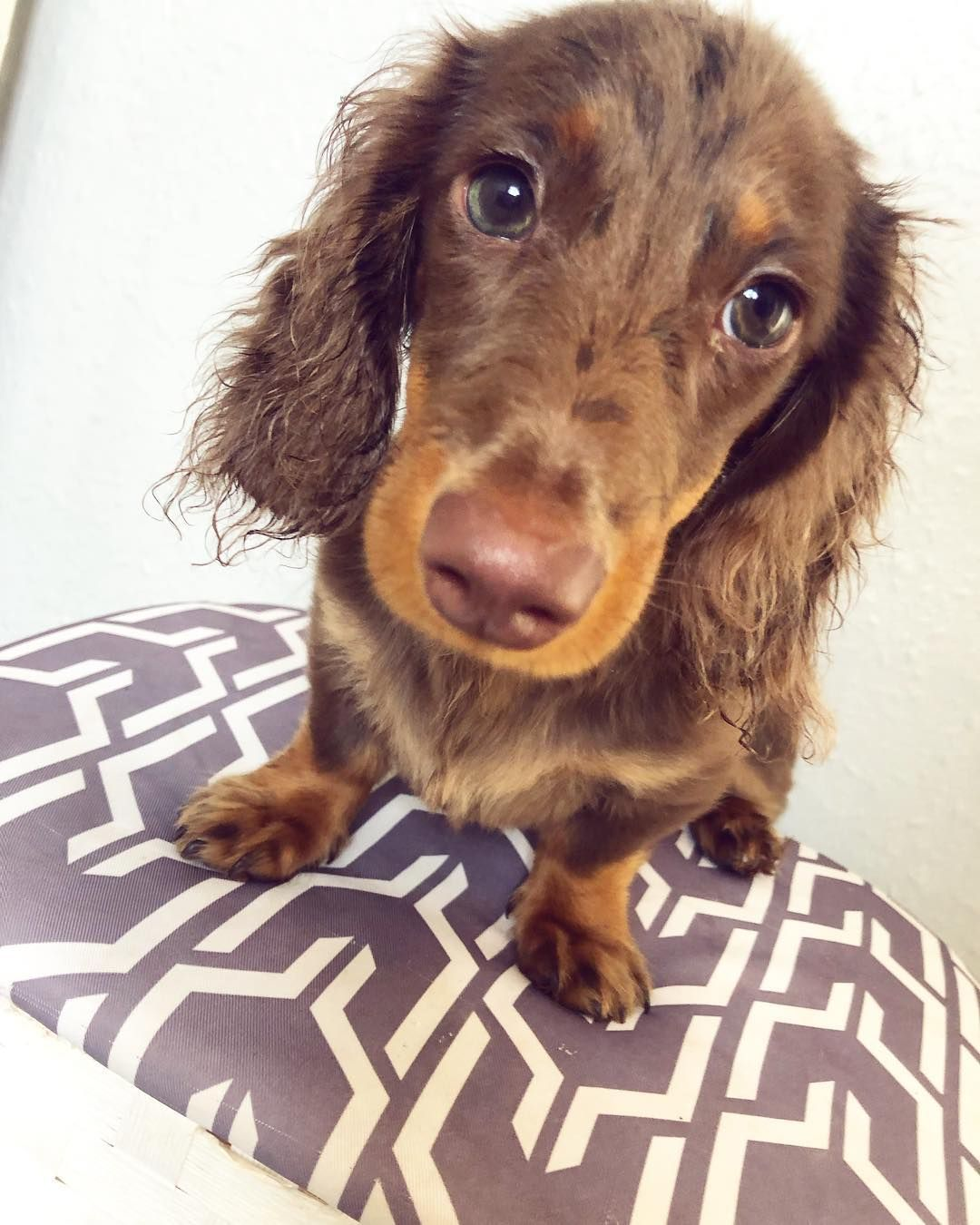 Dachshund Products Apparel And Gifts Long Haired Miniature
