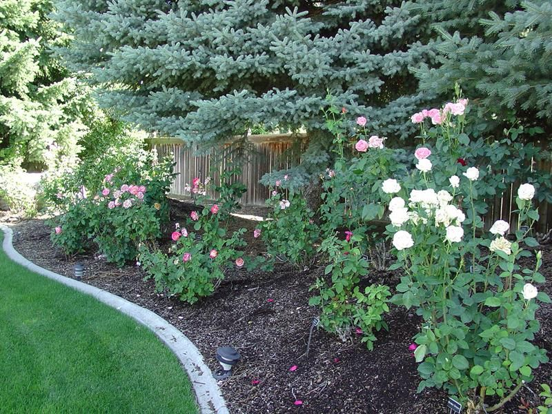 images of backyard rose gardens google search - Backyard Rose Garden