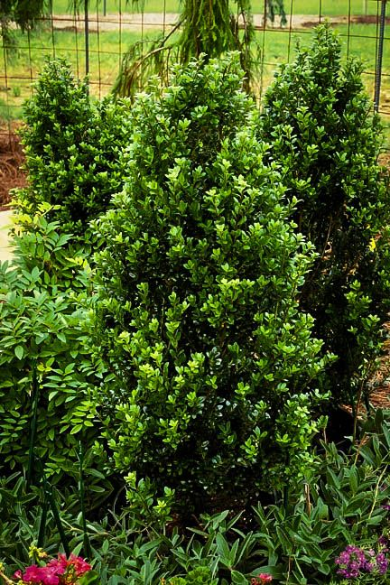 Steeds Upright Japanese Holly Shade shrubs, Screen