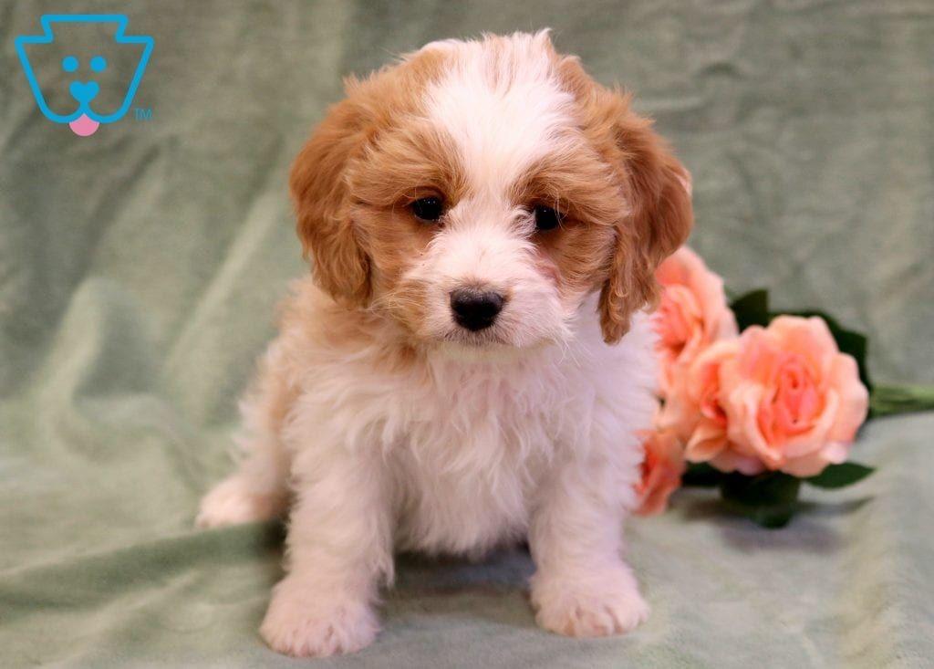 Tike Cavachon Puppy For Sale Keystone Puppies Cavachon Puppies Cavachon Cute Baby Puppies