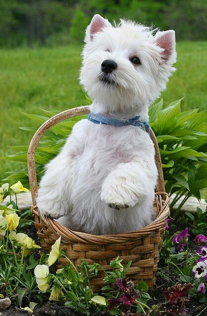 Westie In A Basket Chien Mignon Photo Animaux Animaux Mignons
