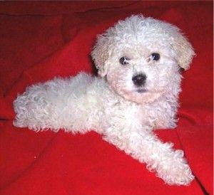 Maltipoo Rescue Maltipoo Puppy Maltipoo Maltipoo Dog