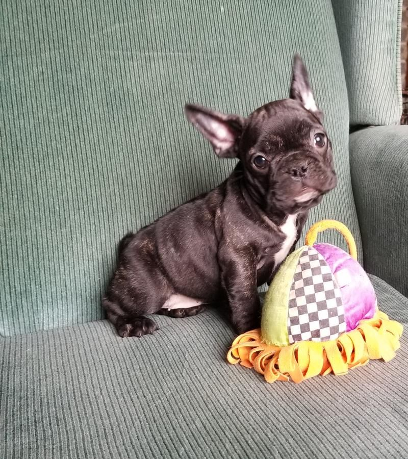 Registered French Bulldogs Puppy 12 Weeks Bulldog Puppies