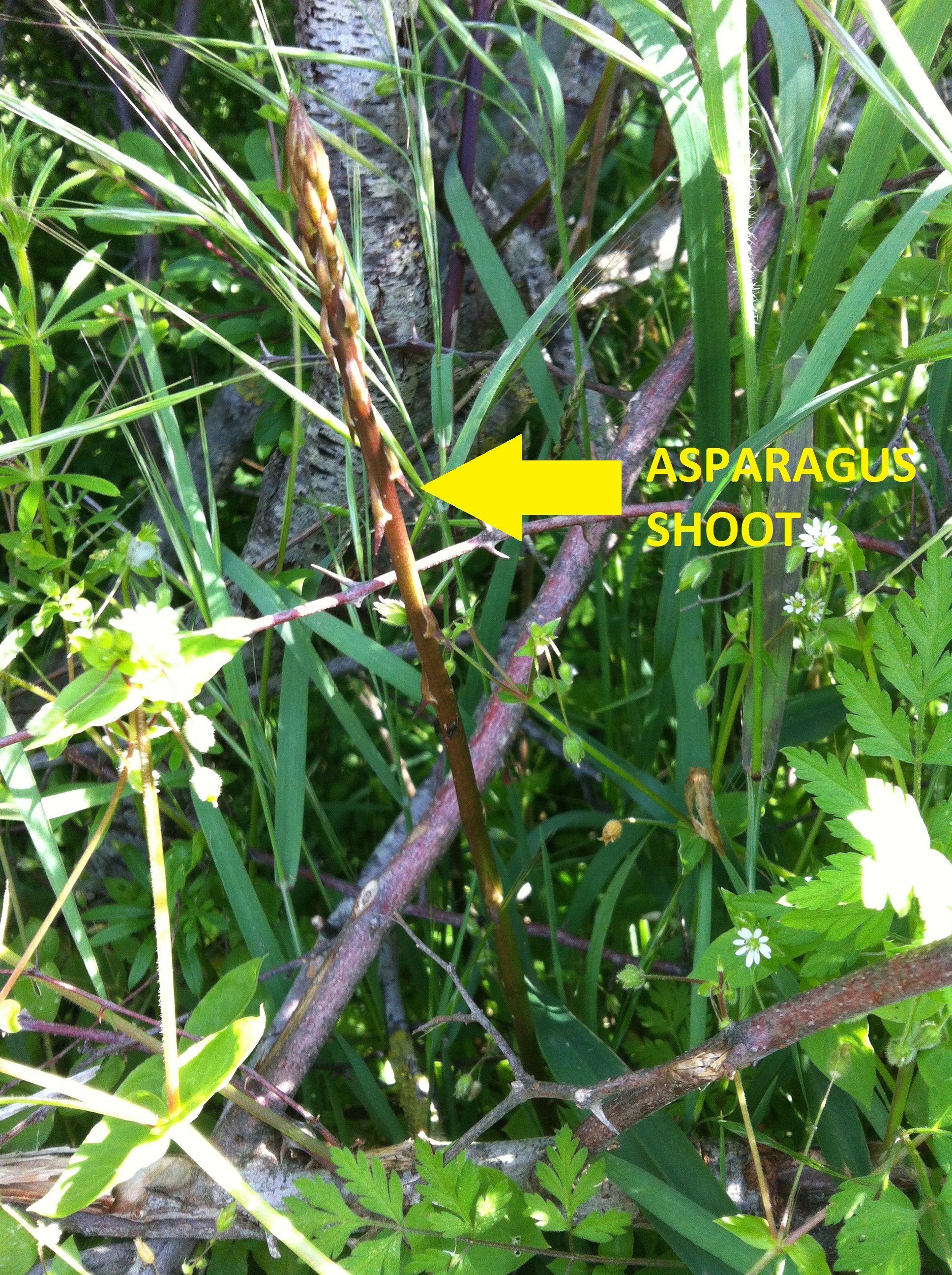 How To Plant And Grow Wild Asparagus Asparagus Asparagus Plant Plants