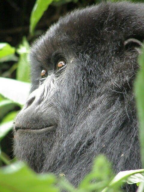 Gorila de espalda plateada en Uganda