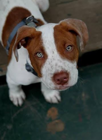 Adopt Ollie on Dog adoption, Boxer dogs, Labrador retriever